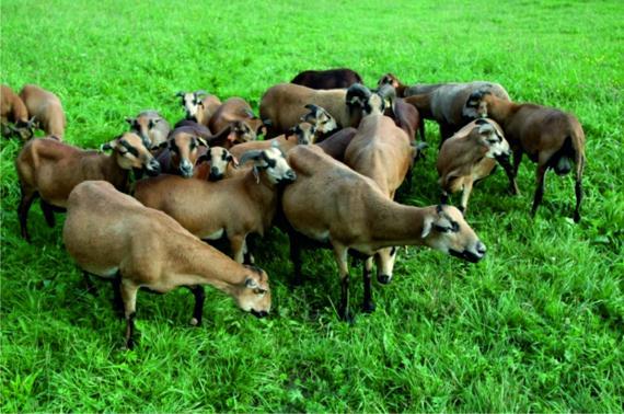 Owca kameruńska - stado
