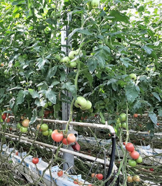 Zaburzenie fizjologiczne widoczne na niedojrzalych owocach pomidora malinowego w uprawie szklarniowej, fot. P. Bucki