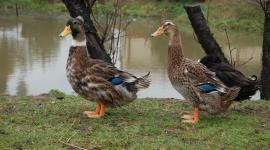 dzikie kaczki